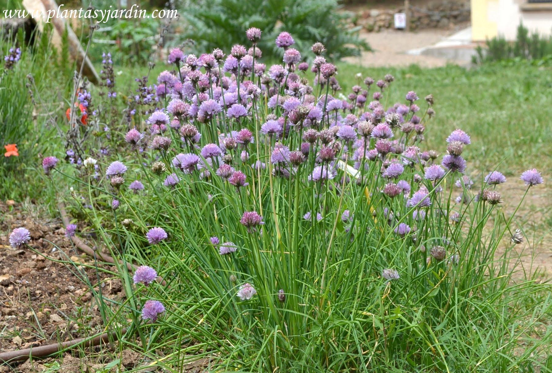 Allium schoenoprasum-ciboulette-cebollino, florecido en verano