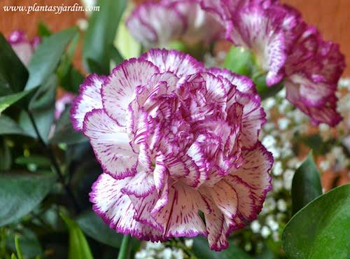 El Clavel la flor nacional de España