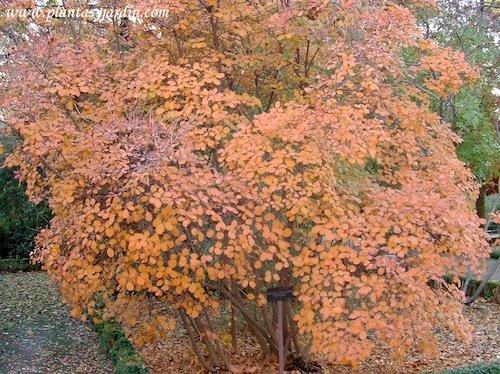 Cotinus coggygria Purpurea en otoño
