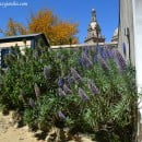 Echium candicans, ornamental arbusto de flores azules