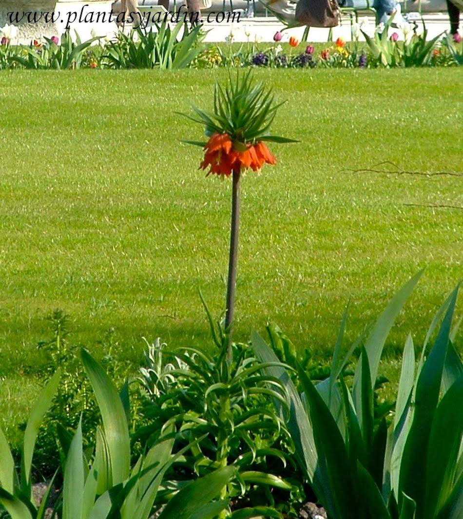 Fritillaria imperialis en el Jardin de Tuileries