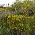 Jasminum mesnyi cultivada en grandes jardineras