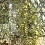Jasminum nudiflorum en invierno