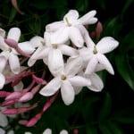 Jasminum polyanthum. Foto: Wikipedia. Autor: Kenpei