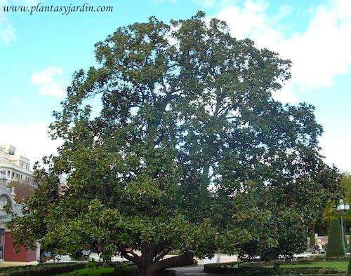 Magnolia grandiflora en el Parque del Buen Retiro en otoño