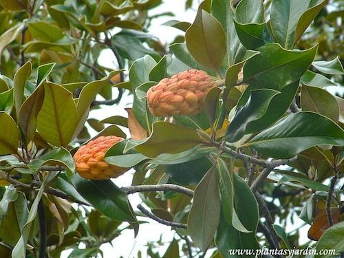 Magnolia grandiflora fruto en otoño Parque del Buen Retiro