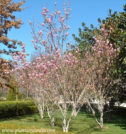 Magnolias lilifloras cultivadas en grupos