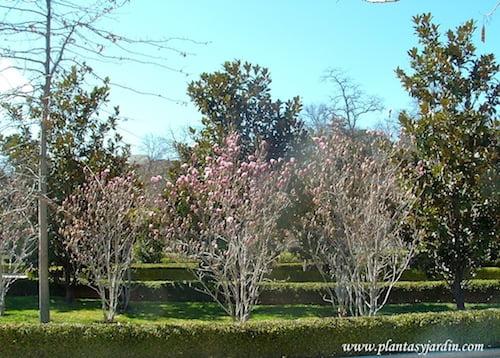 Magnolias lilifloras recien florecidas sobre las ramas desnudas y Magnolias grandifloras de fondo