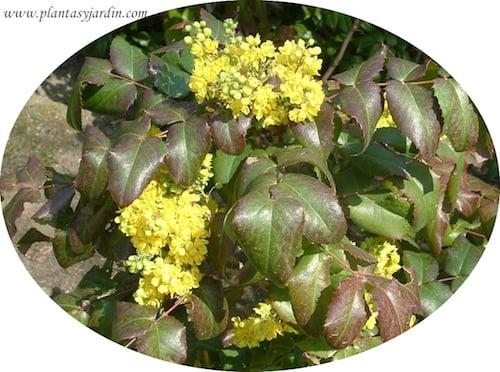 Mahonia aquifolium follaje y flor