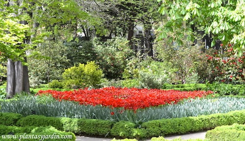 Peonias florecida en la primavera, cultivadas en parterres
