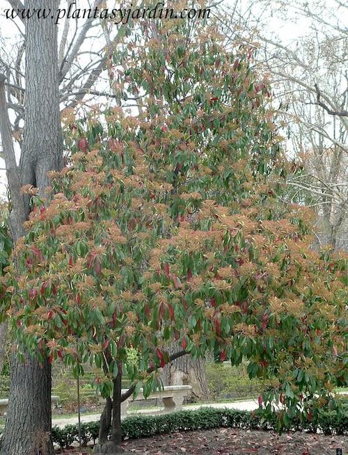 Photinia serratifolia serrulata