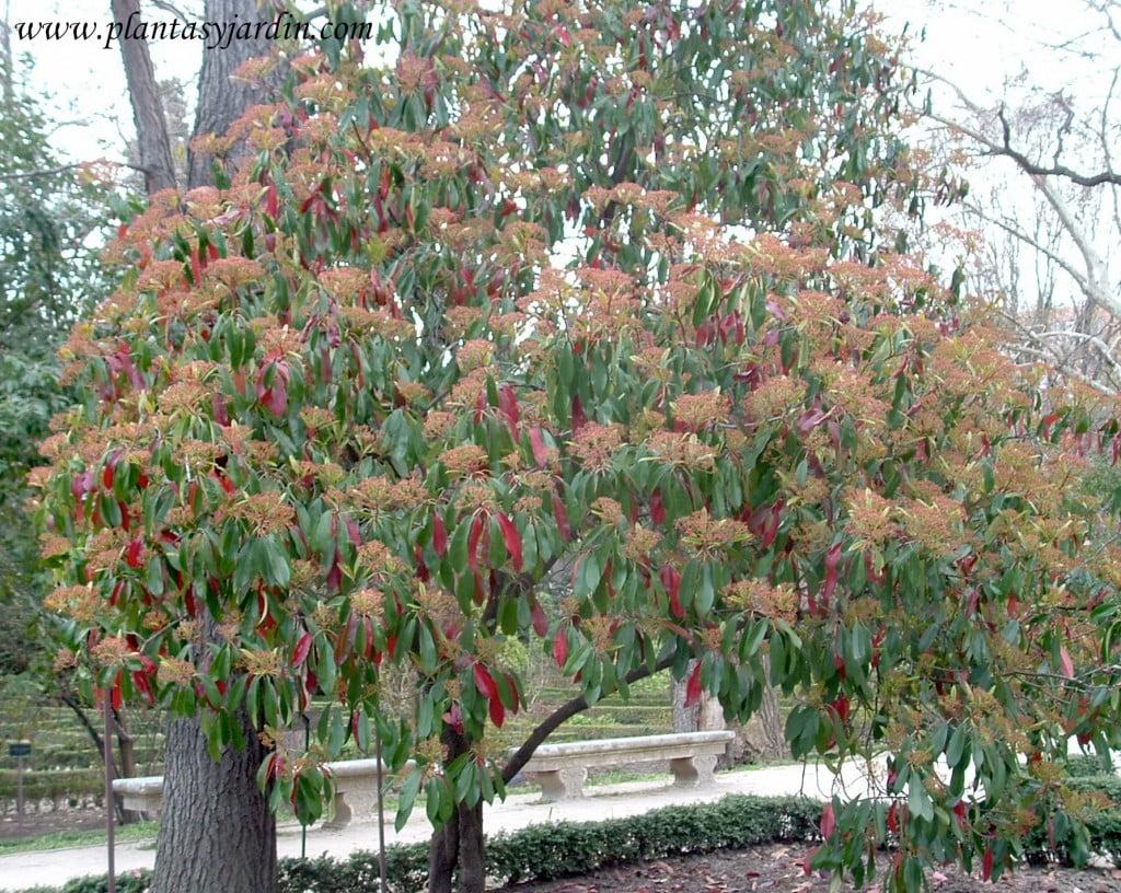 Photinia serratifolia sinomino de serrulata