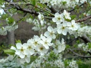 Prunus domestica Ciruelo detalle flor
