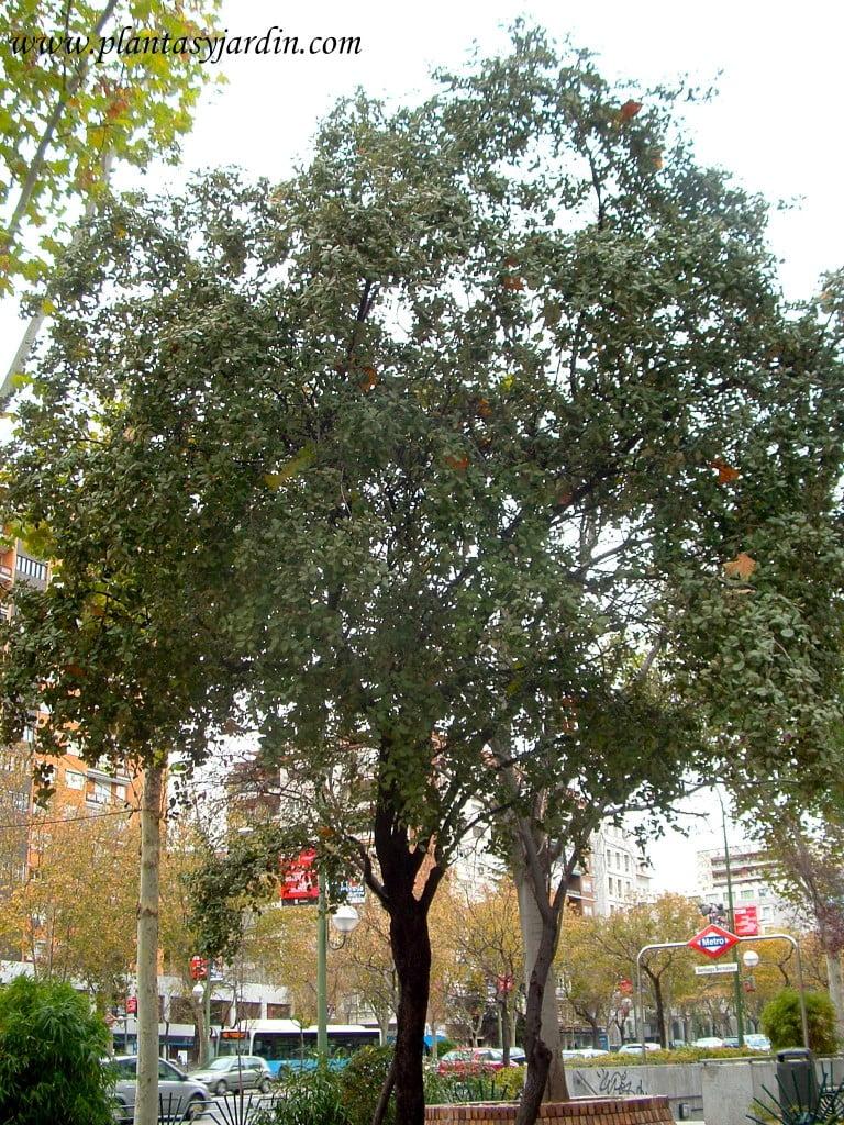 Quercus ilex, la Encina, el árbol más representativo y considerado como nacional