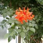Tecomaria capensis Foto Wikipedia
