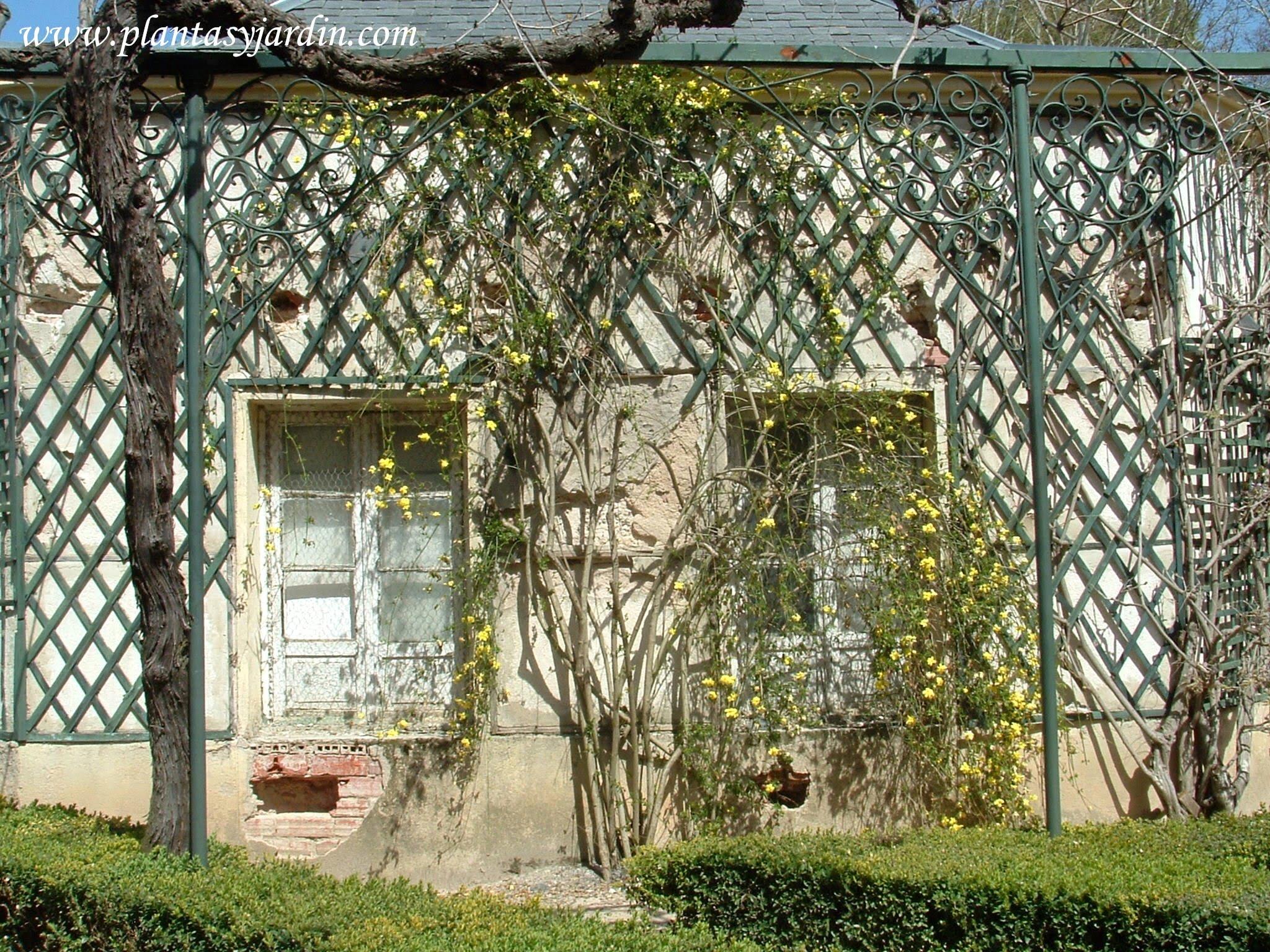 fachada cubierta con treillage y Jasminum nudiflorum