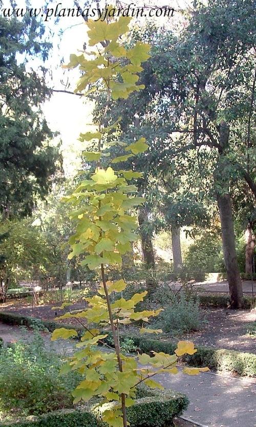 Acer opalus en otoño