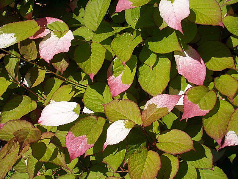 Actinidia kolomikta Foto: Wikipedia
