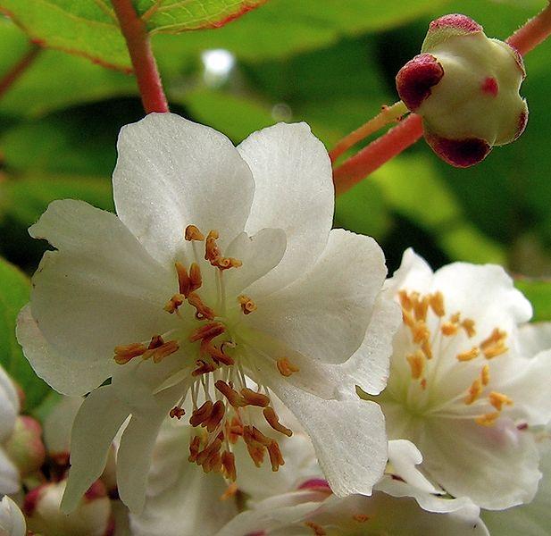 Actinidia kolomikta detalle flor Foto: Wikipedia