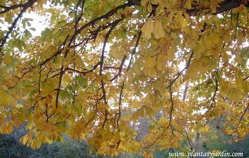 Aesculus hippocastanum, Castaño de Indias detalle de follaje en otoño