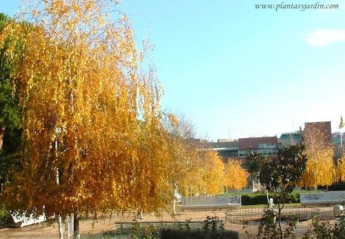 Betula pendula Abedules en otoño
