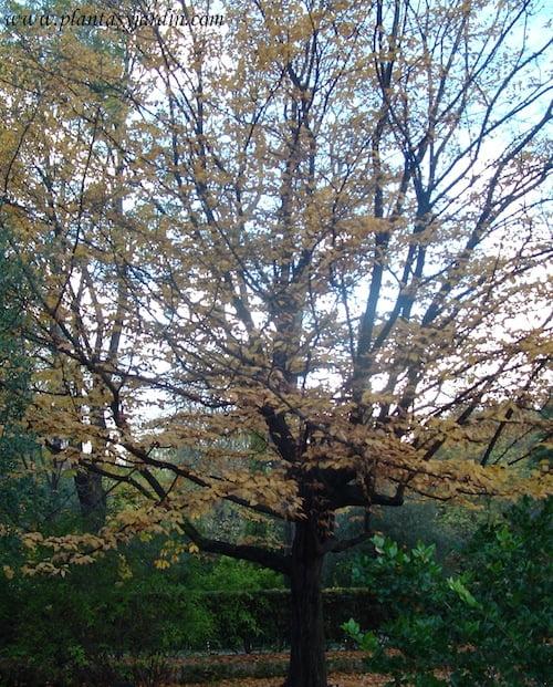 Carpinus betulus, Carpe en otoño