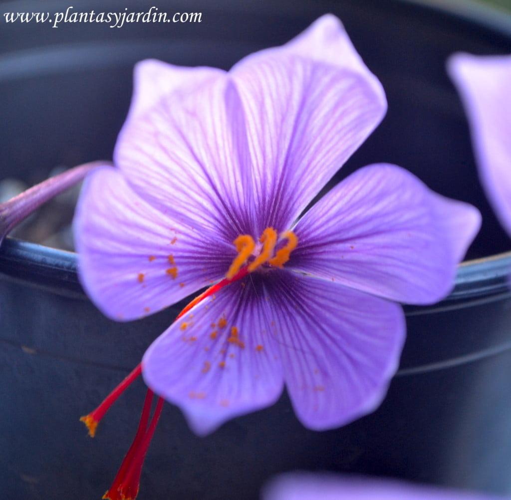 Crocus sativa la flor del azafrán el bulbo se planta a finales del verano y se recolecta en otoño