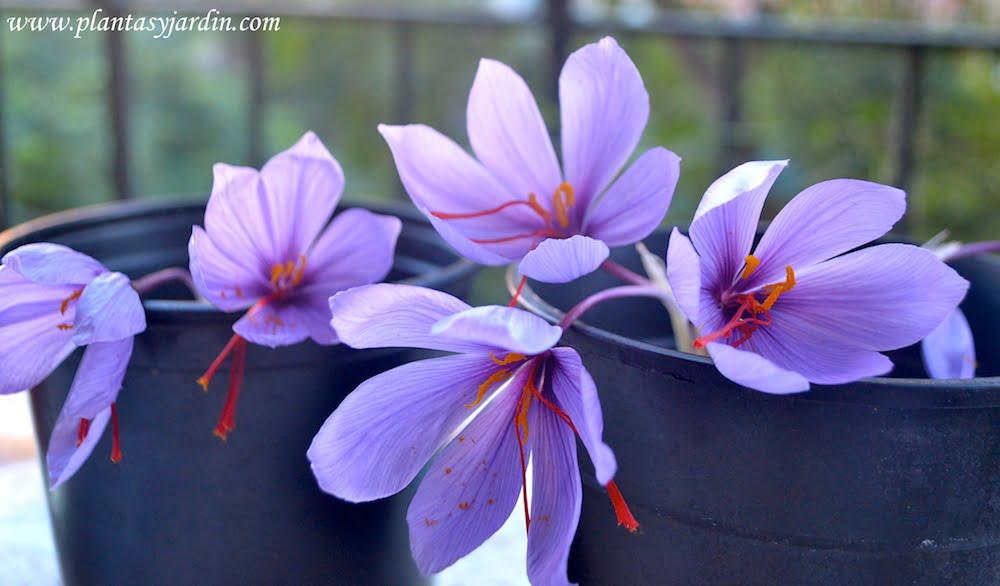 Crocus sativa la flor del azafran en otoño