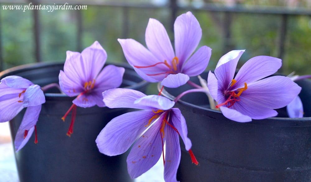 Crocus sativa la flor del azafrán en otoño