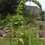 Digitalis lutea detalle de espiga floral