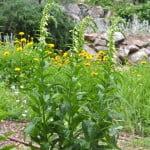 Digitalis lutea flores tubulares amarillas