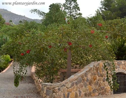 Erythrina crista galli  Ceibo en verano copia