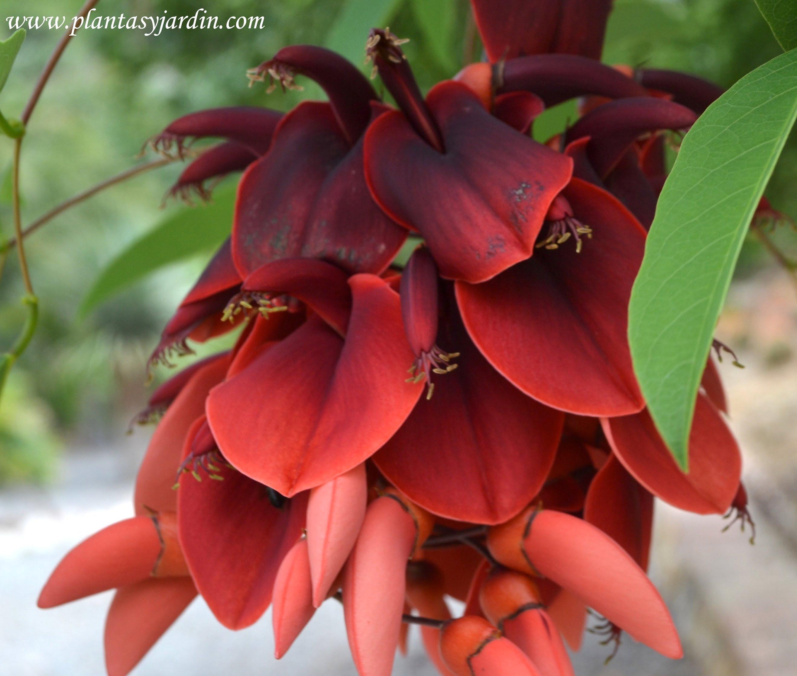Erythrina crista galli, árbol y flor nacional de Argentina