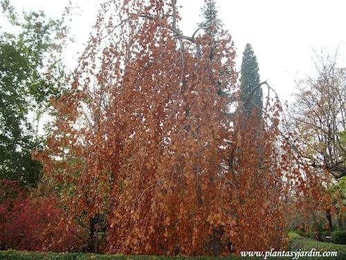 """Fagus sylvatica """"Pendula"""" en otoño"""