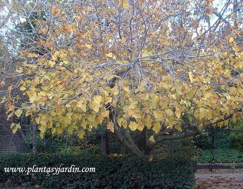Ficus carica Higuera en otoño