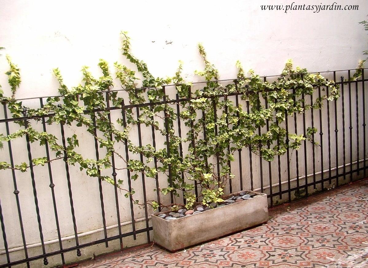 Plantas trepadoras resistentes a las heladas plantas for Plantas trepadoras para muros