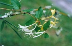 Lonicera japonica Foto: Wikipedia