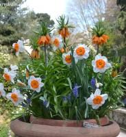 Bulbos de primavera, se plantan en otoño