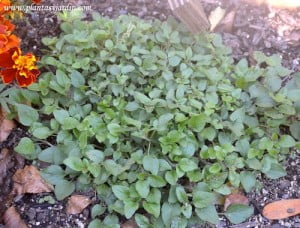 Origanum vulgaris Oregano fresco en el huerto
