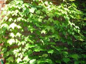 Parthenocissus tricuspidata Foto: Wikipedia