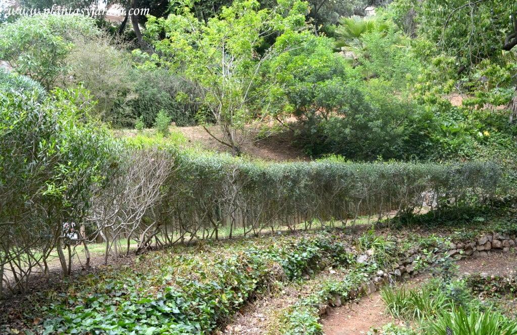 Phillyrea angustifolia Falsa Oliva cerco