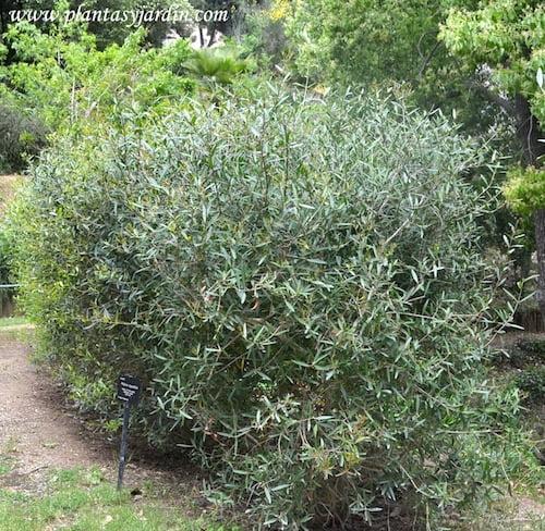 Phillyrea angustifolia Olivilla