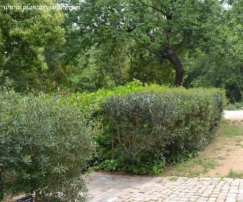 Phillyrea angustifolia, Lentisca, Labiérnaga