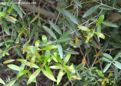 Phillyrea angustifolia detalle de follaje