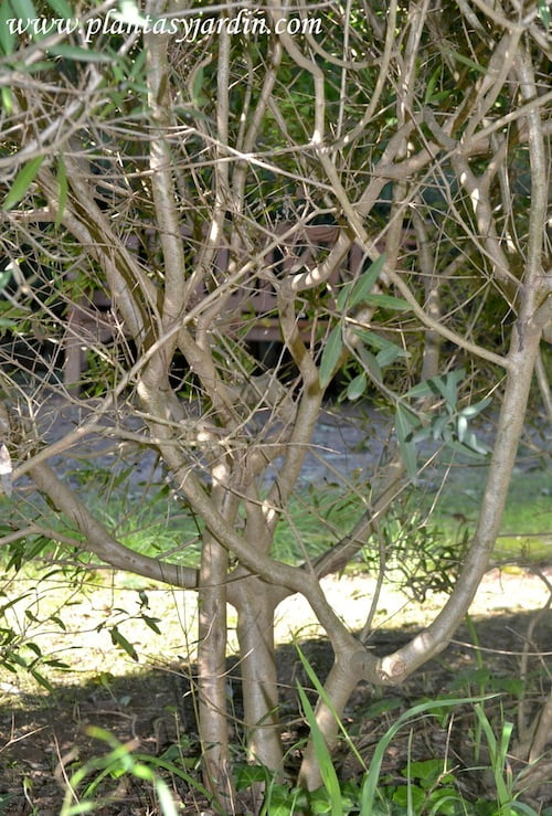 Phillyrea angustifolia detalle de tallos