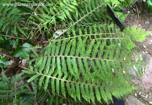 Polystichum setiferum detalle de frondes