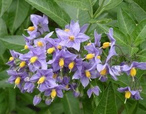 Solanum Crispum Foto: Wikipedia Autor: Ramin Nakisa