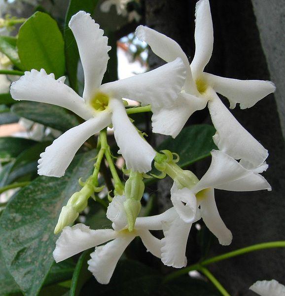 Trachelospermum jasminoides Foto: Wikipedia Autor: Pizzodisevo