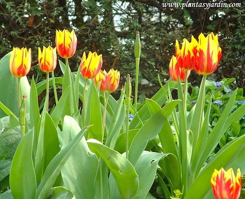 Tulipanes rojos y amarillos en la Promenade Plantèe
