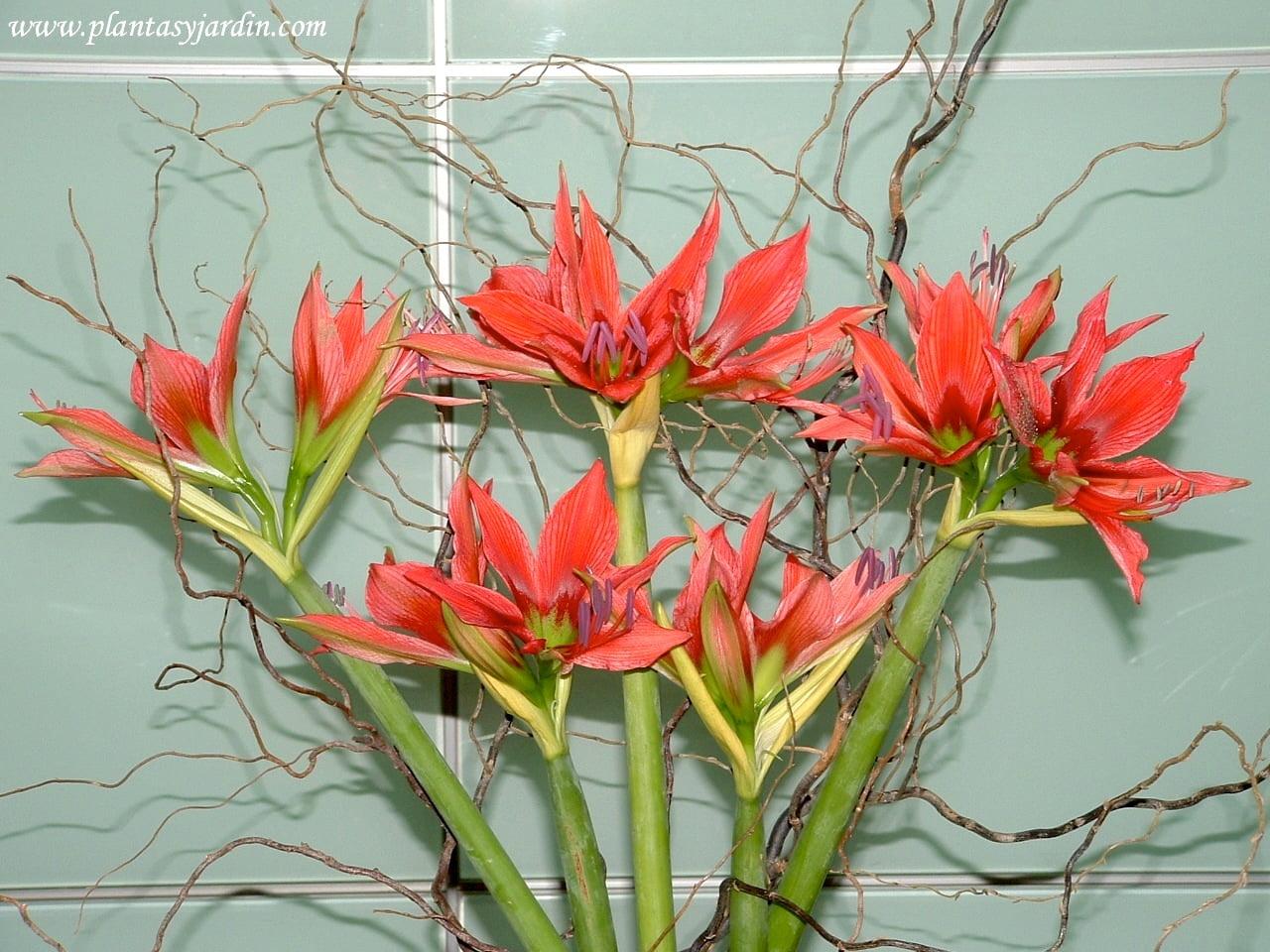 Amaryllis sinomimo de Hippeastrum en bouquet floral con Sauce electrico